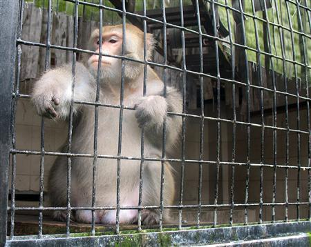 A Formosa Macaque sits inside its cage at the Pingtung Rescue Center for endangered Wild Animals in Pingtung, southern Taiwan October 17, 2008.  REUTERS/Ralph Jennings