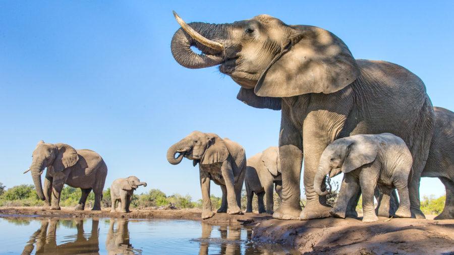 African elephant (Loxodonta africana) herd drinking at a waterhole, Mashatu Game Reserve, Botswana. June.